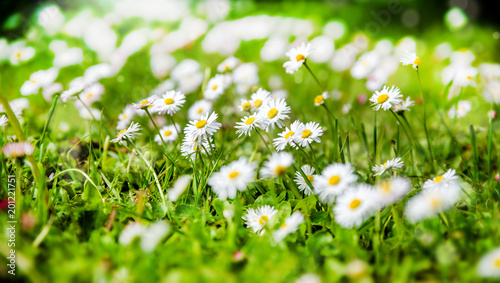Foto op Canvas Madeliefjes White small daisies blooming on grass background