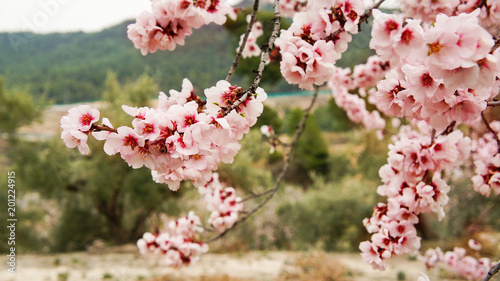 Photo  almond blooming