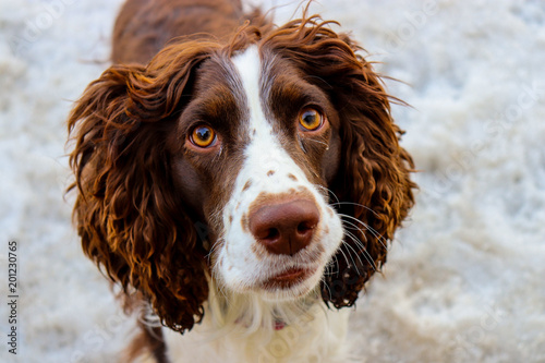 Springer spaniel dog looking inquisitively at the camera with golden brown eyes Wallpaper Mural