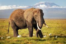 African Bush Elephant (Loxodonta Africana) Walking On Savanna, With White Cattle Egret (Bubulcus Ibis) Birds, With Mount Kilimanjaro Top Snow Covered In Background. Amboseli National Park, Kenya