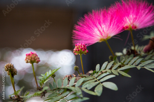 Image of cute fluffy pink flowers on blooming in thailand albizia image of cute fluffy pink flowers on blooming in thailand albizia julibrissin persian silk mightylinksfo
