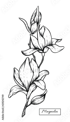 Magnolia Flowers Drawingvector Illustration And Clip Art On White