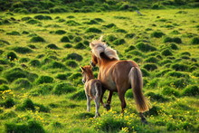 Iceland. Icelandic Horse Is The National Symbol Of The Country.