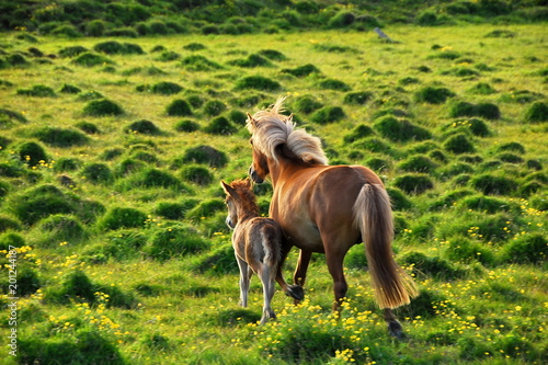 Iceland. Icelandic horse is the national symbol of the country. Canvas Print