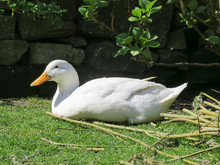 White Campbell Duck With Orang...