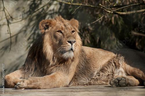 Foto op Plexiglas Leeuw portrait of lion sitting at the zoo