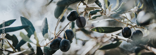 Foto op Plexiglas Olijfboom panorama olive branch, olive tree, olives on the tree