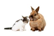 Kitten Kissing A Brown Rabbit. On White.