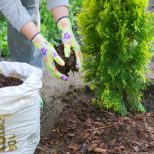 Planting plants step by step / ornamental shrub Thuja Golden Smaragd - mulching bark