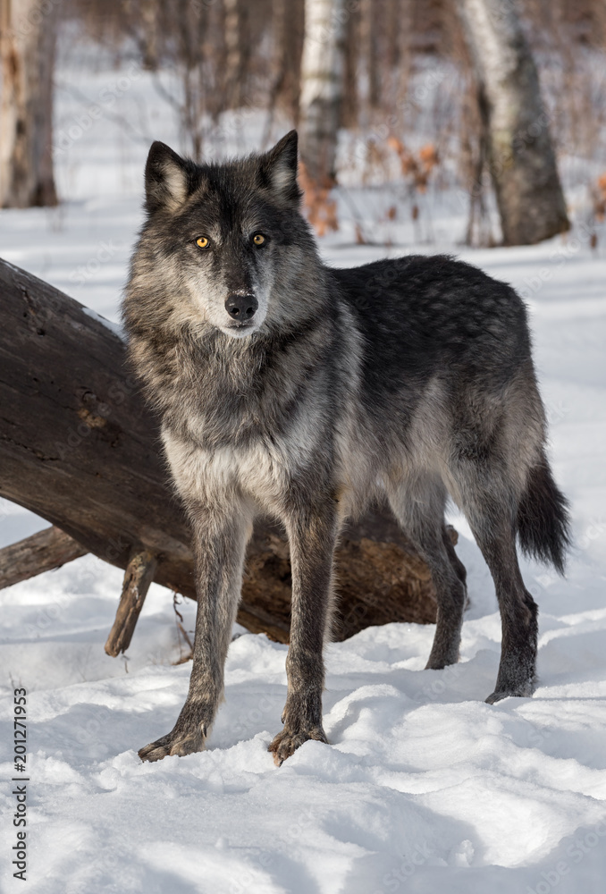 Black Phase Grey Wolf (Canis lupus) Stands in Front of Log