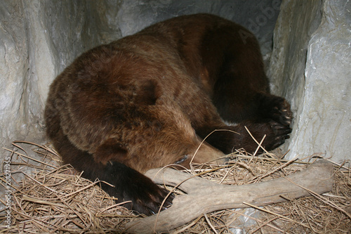 ours en hibernation dans son terrier Obraz na płótnie