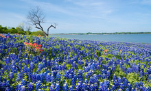 Texas Bluebonnets With A Patch...