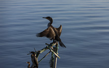 Cormorant Drying At The Sun