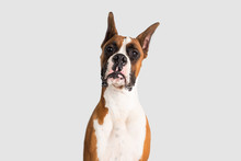 Purebred Boxer With Cropped Ears