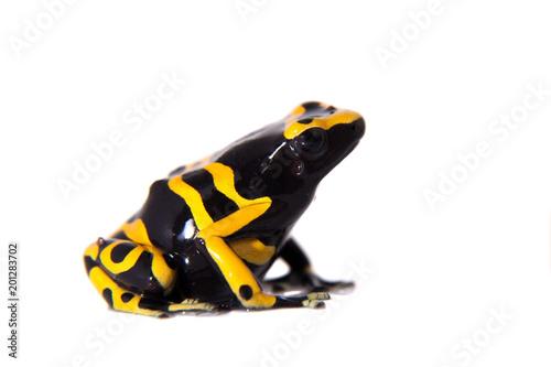 Fotografía  The bumblebee poison dart frog on white