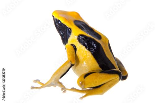 Regina Dyeing Poison dart frogling, Dendrobates tinctorius, on white
