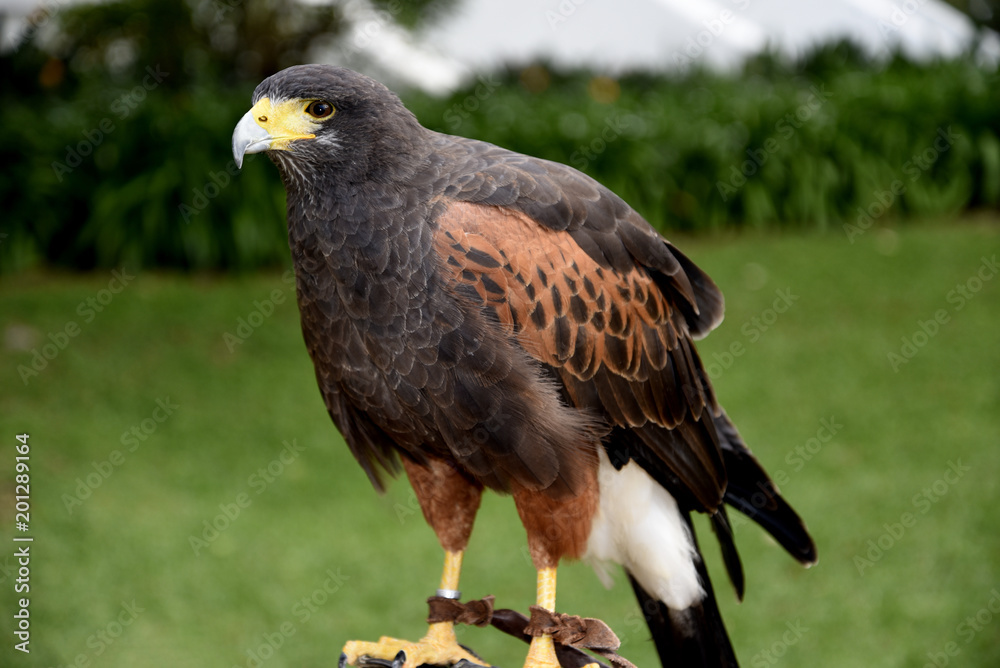 Harris Hawk in the grounds of a luxury Hotel in Funchal Madeira Portugal.She is trained to scare off feral pigeons and seagulls. Her handler carries her on a leather glove and she is quite tame