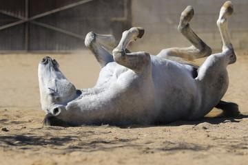 Junger Lusitano Hengst wälzt sich auf dem Sandplatz