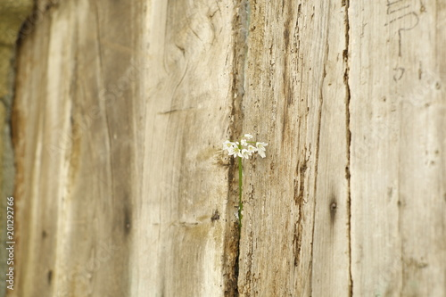 Fotografie, Obraz  white flowers on wooden door