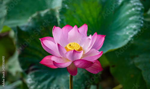 Lotus flower the background is the pink lotus flowers and yellow lotus flower the background is the pink lotus flowers and yellow lotus bud in a mightylinksfo