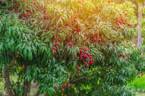 lychee tree tropical sweet fruit in Thailand
