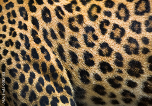 Canvas Prints Leopard Patterns and textures of leopard for background.