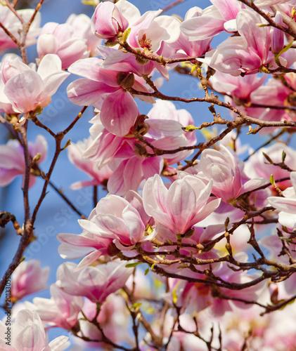 Foto op Plexiglas Magnolia Closeup of Magnolia Flower at Blossom
