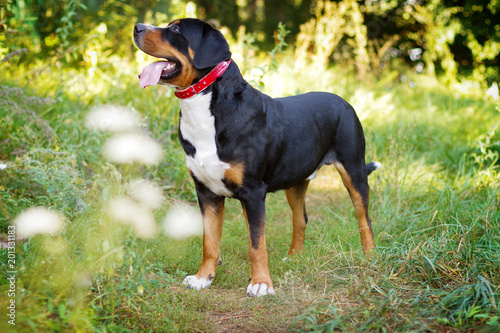 Cadres-photo bureau Vache Great swiss mountain dog standing in the grass outdoors