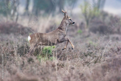 Tuinposter Ree Young roe deer buck running away in field with heather bushes.