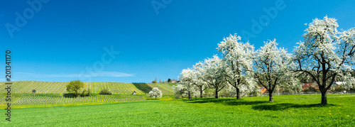 Foto auf AluDibond Blau blossoming fruit trees and orchard in a green field with yellow dandelions and a small vineyard in the background