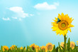 canvas print picture - Sonnenblumenfeld, Schmetterling, weisse Wolken auf blauem Himmel, Sommertag