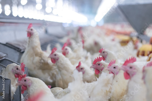 Keuken foto achterwand Kip Poultry farm business for the purpose of farming meat or eggs for food from, White chicken Farming feed in indoor housing
