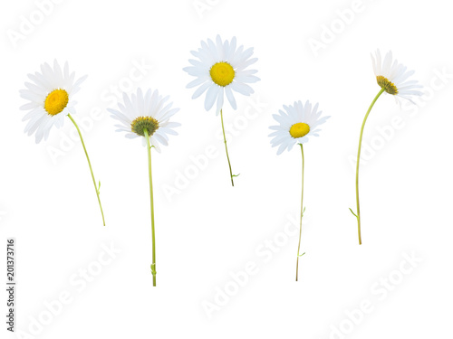Daisy white flowers isolated on white