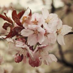 Fototapeta Vintage Cherry flowers in bloom. Aged photo. Flowers bloom in spring season. Sakura Blossom Time. Blossoming cherry flowers in spring. Retro filter photo. Sakura blooming. Vintage effect.