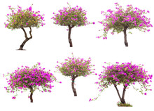 Pink Bougainvillea Flower Tree Isolated On White Background, The Collection Of Trees.