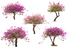 Pink Bougainvillea Flower Tree...