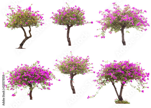 Papel de parede Pink bougainvillea flower tree isolated on white background, The collection of trees
