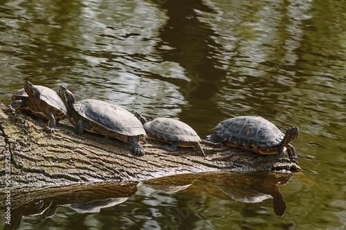 Fotografie, Obraz  Natatorial turtles on a log.