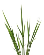 Green Reed, Cane Grass Isolate...
