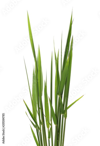 green reed, cane grass Isolated on white background