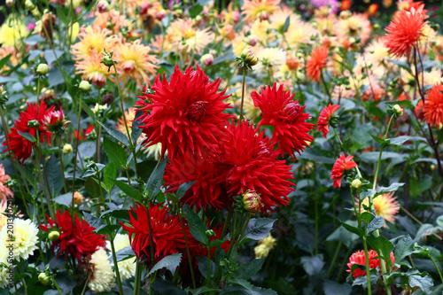 Red dahlias in the center./In a flower bed a considerable quantity of flowers dahlias with petals in various colors.