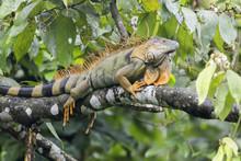 Macho De Iguana Verde En Costa Rica Sobre Un árbol