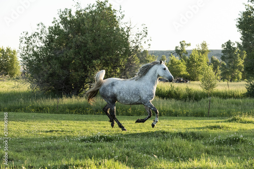 Fotografía  Galloping Gray Mare