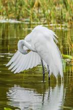 Non-breeding Adult Great Egret (Ardea Alba) Preening Feahers