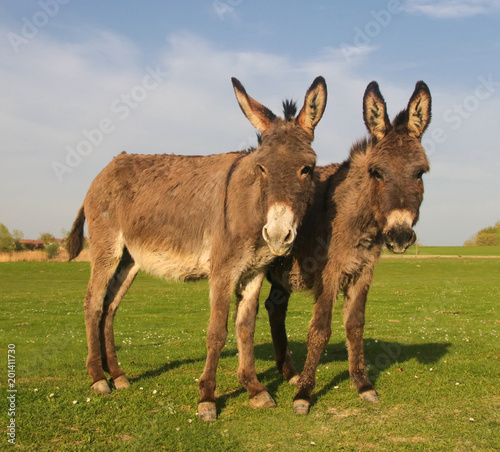 Two donkeys on the floral meadow