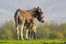 Baby Donkey Is Sucking Mother