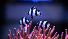 Four Stripe Damselfish - (Dasc...