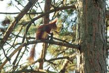The Cute Rusty Squirrel Sits O...