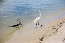 Great White Egret Walking Along Lake Bank With Iron Anchor By The Shore, Marapendi Lagoon, Rio De Janeiro.