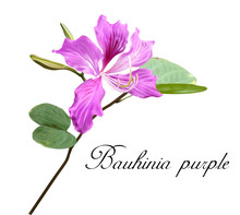 Bauhinia Flower Vector
